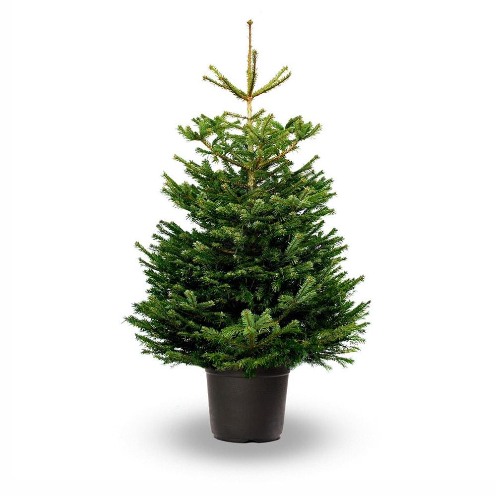 Brad de Crăciun natural crescut în ghiveci