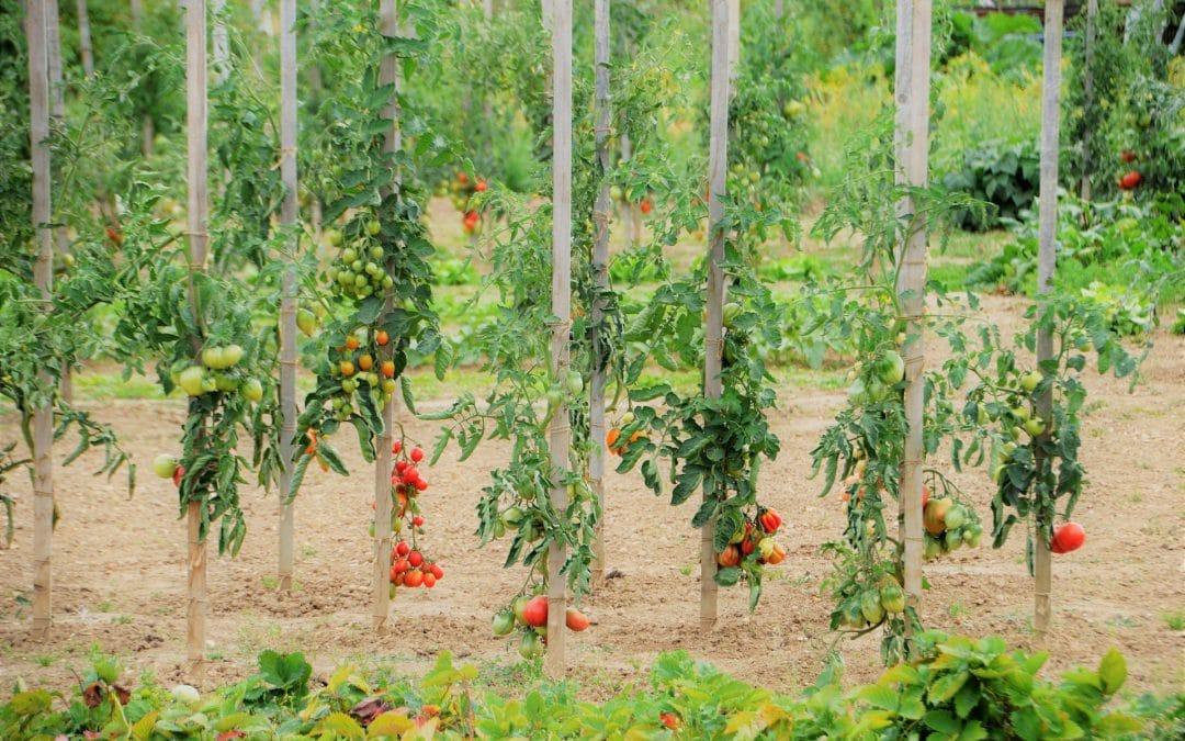 4 culturi de legume ușor de întreținut și profitabile